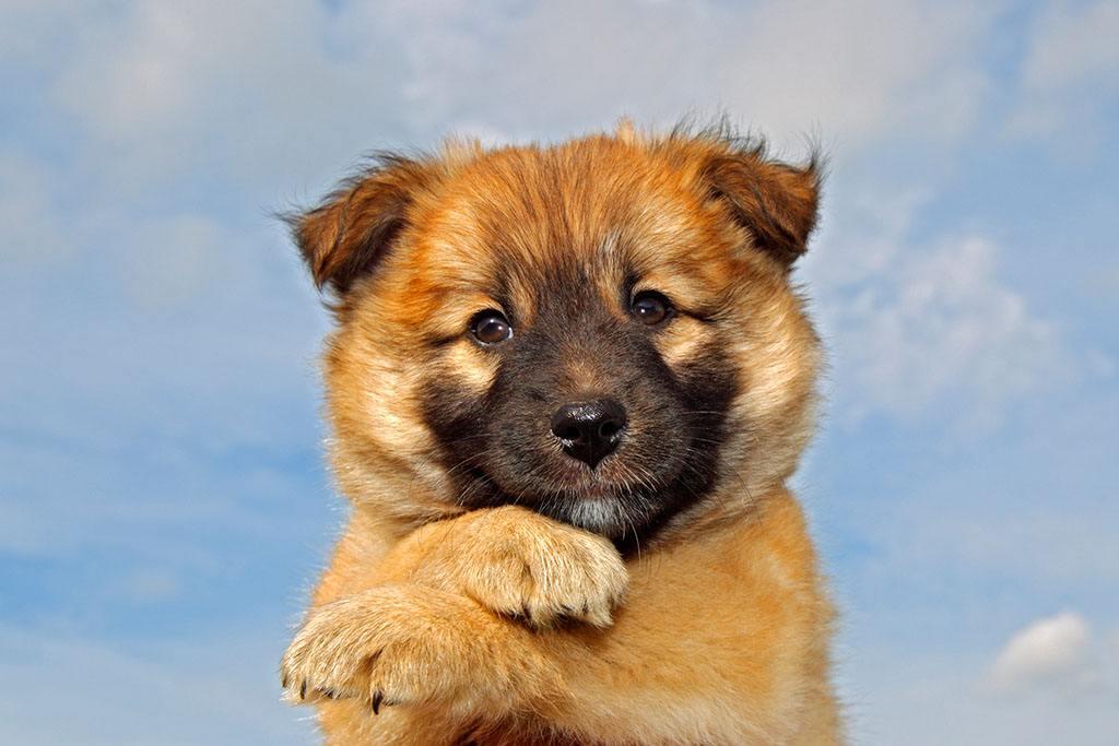 冰岛唯一的本土犬种——冰岛牧羊犬
